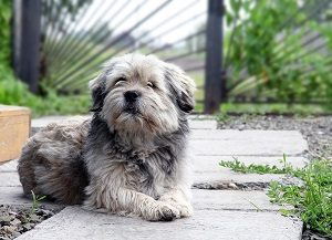 Dog in landscaped yard.