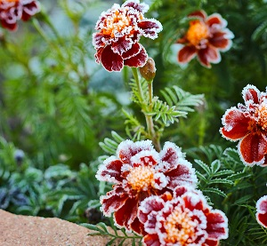 Marigold coated in frost.