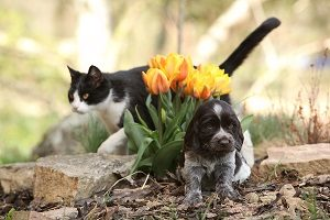 Puppy of German Quail Dog with cat in the garden.