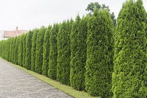 Evergreens that are acting as a privacy barrier between two homes
